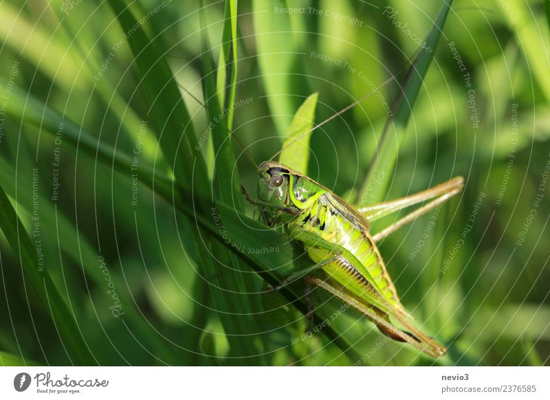 Grasshopper on a blade of grass Environment Nature Plant Animal Bushes Leaf Foliage plant Agricultural crop Wild plant Garden Park Meadow Field Wild animal
