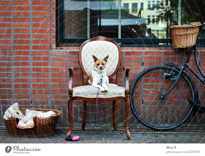 The Little King - Ultimate Favourite Photo Furniture Chair Wall (barrier) Wall (building) Window Bicycle Animal Pet Dog 1 Sit Wait Kitsch Funny Dog basket