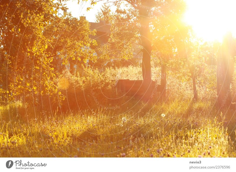 Light-flooded garden at sunrise Environment Nature Landscape Summer Plant Tree Flower Grass Bushes Blossom Foliage plant Agricultural crop Garden Yellow Gold