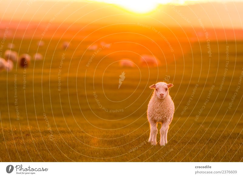 mowing Animal Sheep Lamb Herd Baby animal Animal family Serene Colour photo Subdued colour Exterior shot Twilight Light Contrast Sunrise Sunset Back-light