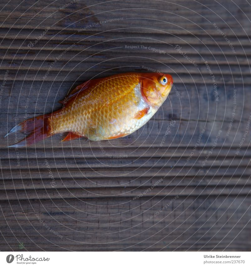 Beautiful Animal Environment Yellow Death Wood Sadness Baby animal Gold Lie Fish Pet Sacrifice Goldfish Scales
