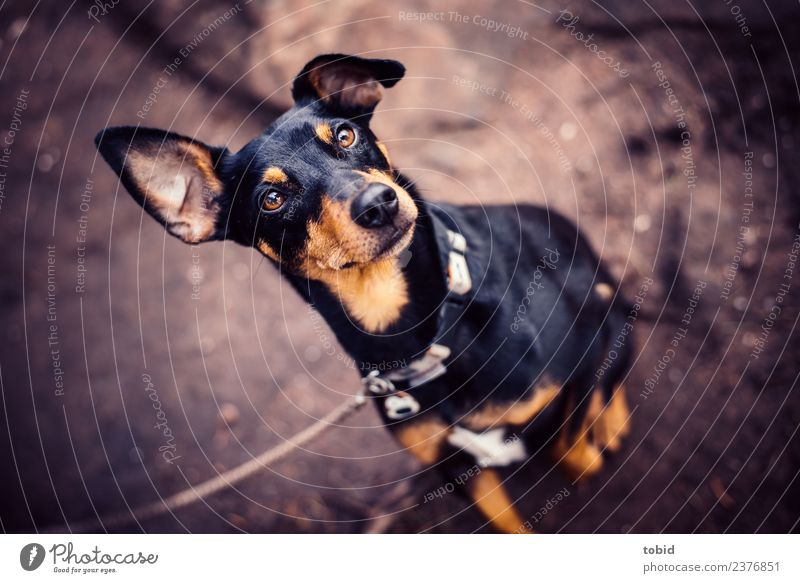dog Animal Pet Dog Animal face Pelt 1 Observe Looking Sit Brash Cuddly Near Expectation pinscher Dog lead Colour photo Exterior shot Deserted Animal portrait