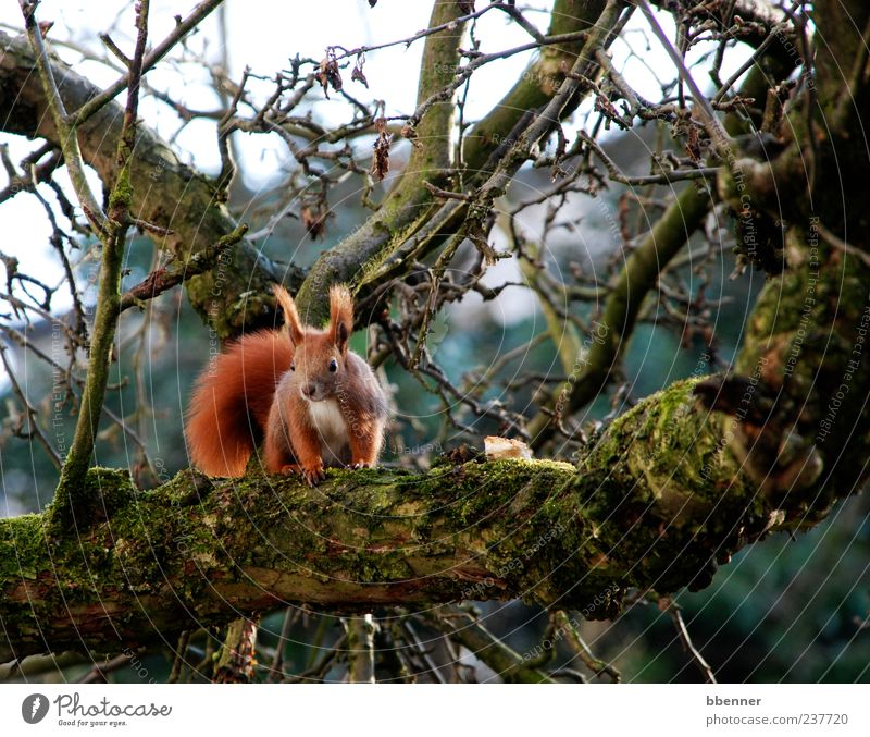 In the apple tree Environment Nature Spring Tree Animal Animal face 1 Sit Cute Brown Curiosity Squirrel Colour photo Exterior shot Day Looking Animal portrait