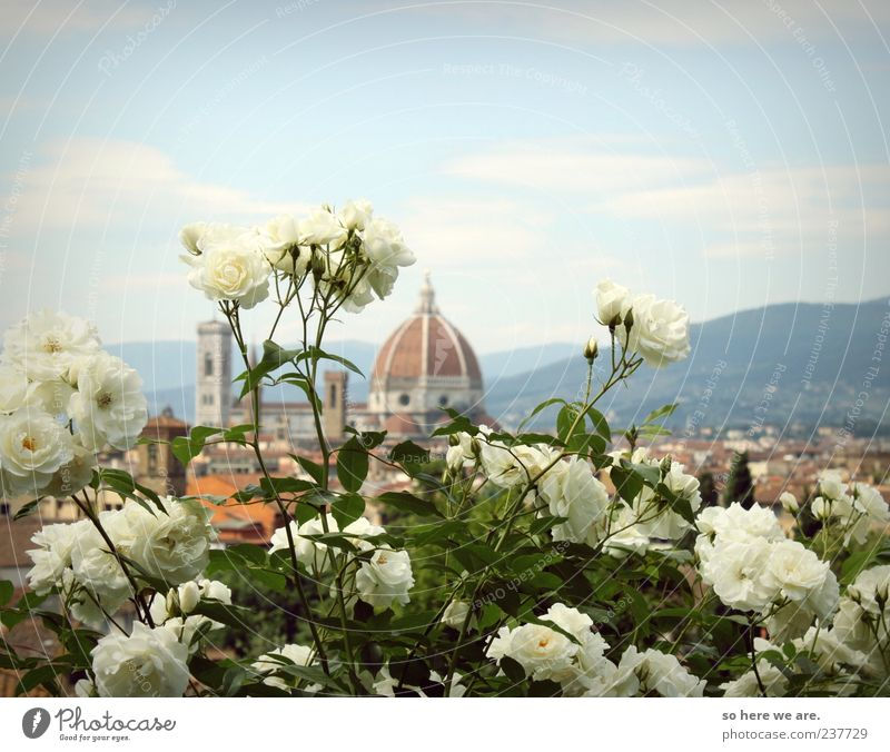 firenze florence rosa rose Plant Sky Spring Summer Beautiful weather Rose Town Skyline Dome Tourist Attraction Landmark Far-off places Infinity Historic Tall