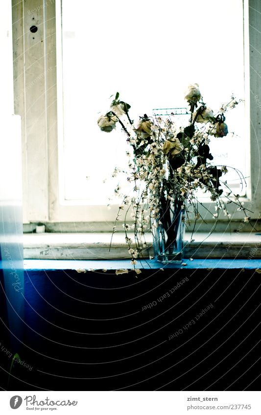 Transient flowering Living or residing Floristry Art Rose Blossom Bouquet Window Decoration Old Stand Faded To dry up Trashy Dry Blue White Spring fever Serene