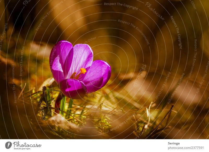 Crocus in the sunshine Environment Nature Landscape Plant Animal Sun Spring Flower Grass Moss Agricultural crop Wild plant Garden Park Meadow Forest Blossoming