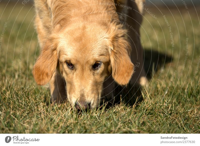 A golden retriever is playing outside in the garden Joy Summer Nature Park Animal Dog 1 Yellow Happy Happiness Contentment Joie de vivre (Vitality)