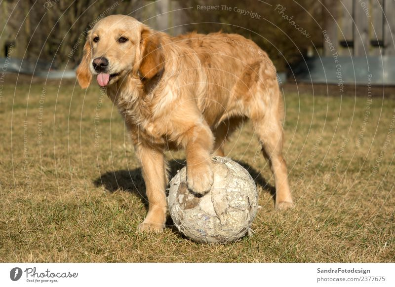 A golden retriever is playing outside in the garden Joy Summer Nature Garden Park Meadow Animal Pet Dog 1 Yellow Love of animals young canine breed grass green