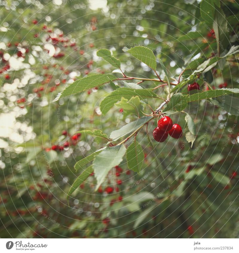cherry season Food Fruit Cherry Nutrition Organic produce Vegetarian diet Finger food Nature Plant Tree Leaf Delicious Green Red Colour photo Exterior shot