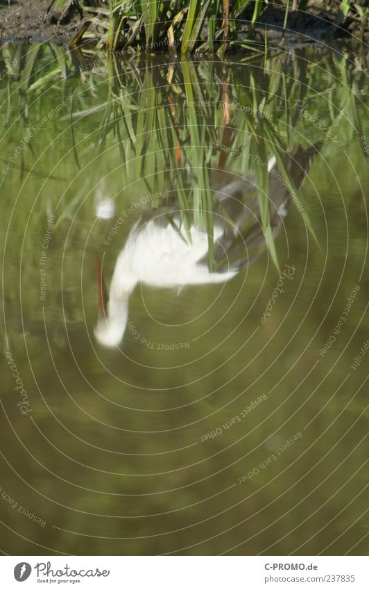 Reflections of a stork Water Lakeside Animal Wild animal Wing Stork 1 Green Colour photo Exterior shot Copy Space bottom Day Blur Nature Pond Grass Mirror image