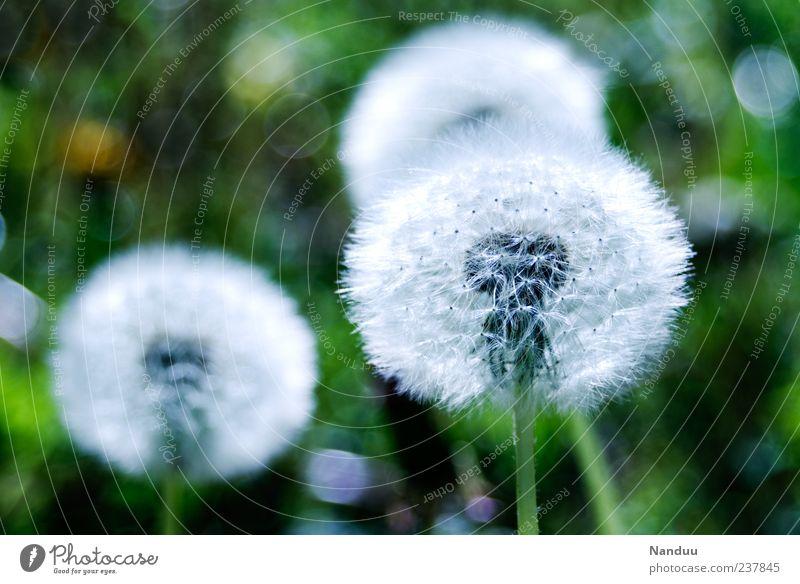 Nature Plant Meadow Natural Round Soft Dandelion Depth of field Seed Flower Natural color