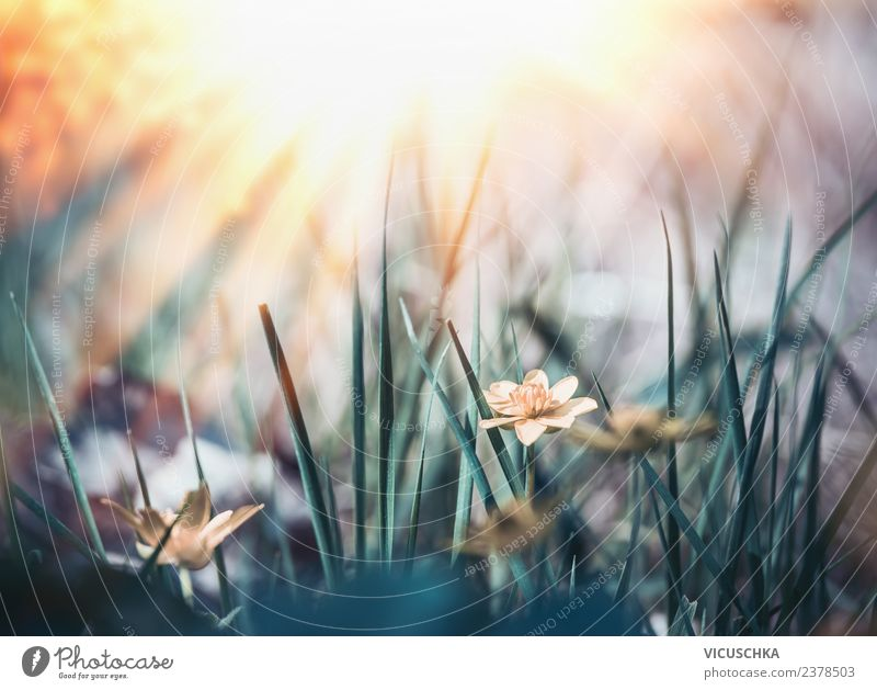 Summer wild nature with grass, flowers and sunrays Design Garden Nature Plant Sunrise Sunset Spring Beautiful weather Flower Grass Leaf Blossom Park Meadow
