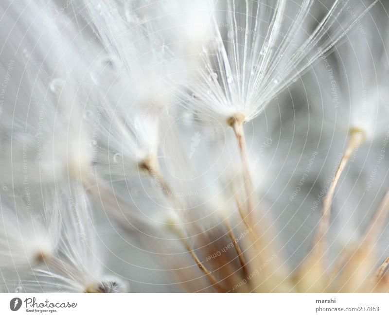 compartments Plant Soft Brown White Blur Macro (Extreme close-up) Detail Dandelion Drops of water Colour photo Seed Pollen Copy Space top Copy Space left