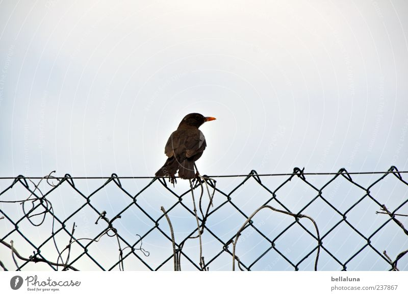 Sky Nature Animal Environment Bird Wild animal Sit Fence Cloudless sky Sing Clouds in the sky Throstle Barrier Blackbird Wire netting fence Wire netting