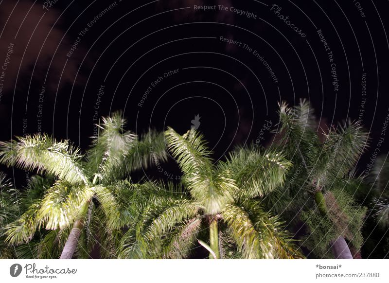 at night all palms are green Plant Night sky Tree Palm tree Coconut tree Movement Illuminate Growth Dark Exotic Large Tall Natural Wild Green Black Nature