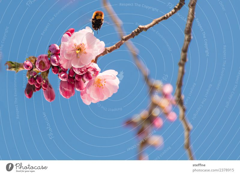 Cherry blossom vs. bumblebee Nature Plant Spring Beautiful weather Blossom Esthetic Exceptional pollination Sprinkle Propagation Bee Bumble bee