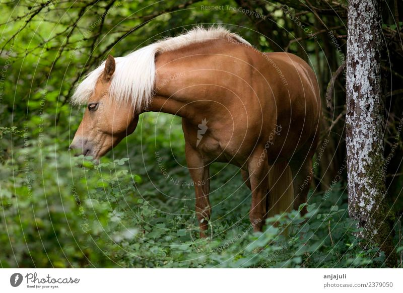 Haflinger horse in the forest eats leaves Plant Animal Spring Summer Tree Grass Bushes Foliage plant Meadow Forest Horse Baby animal Glittering Green Mane