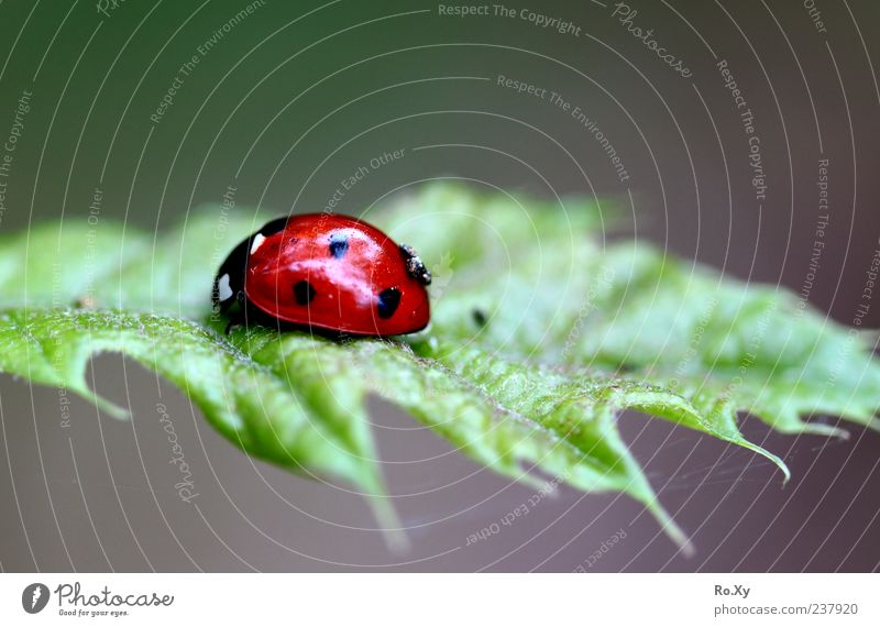 Red high flyer Summer Nature Leaf Foliage plant Animal Beetle Movement To feed Crawl Free Green Life Insect Ladybird Colour photo Multicoloured Close-up