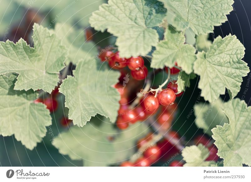 Red Currants Food Fruit Organic produce Healthy Environment Nature Plant Spring Summer Bushes Agricultural crop Wild plant Garden To enjoy Green Power