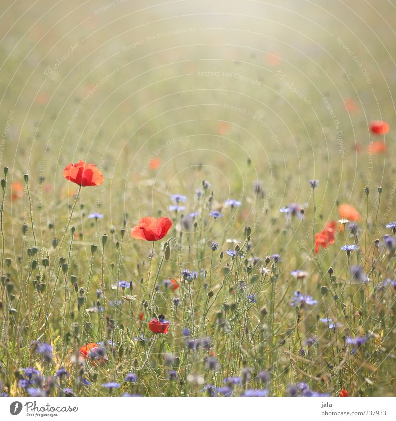poppy seed & grain Environment Nature Landscape Plant Spring Summer Flower Grass Leaf Blossom Meadow Free Friendliness Bright Beautiful Blue Yellow Green Red