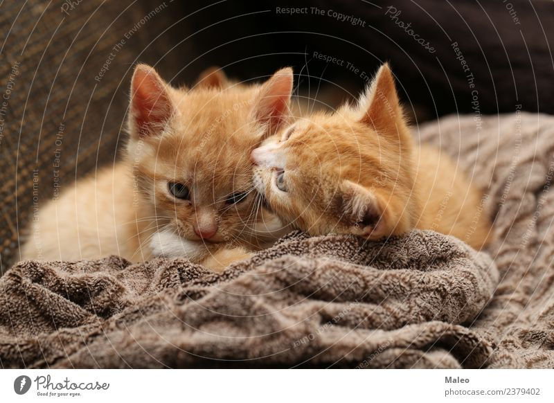 kitten Pet Kitten Small Playing Red Cat Domestic cat Beautiful Cat eyes Mammal Honey Red-haired Coarse hair Baby animal Animal