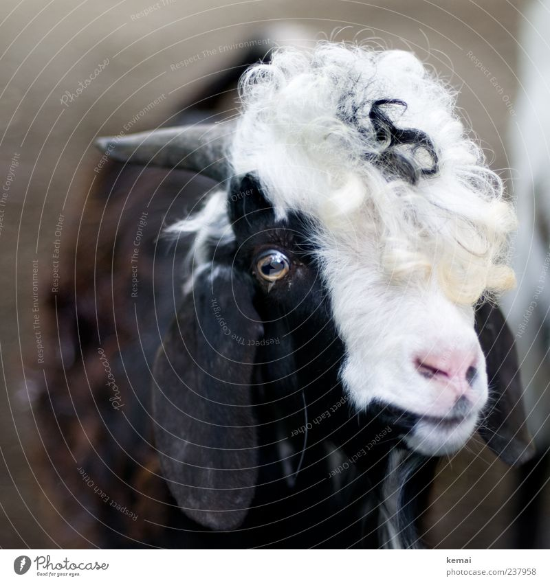 White Animal Black Eyes Hair and hairstyles Nose Ear Pelt Animal face Trust Zoo Curl Antlers Farm animal Love of animals Goats