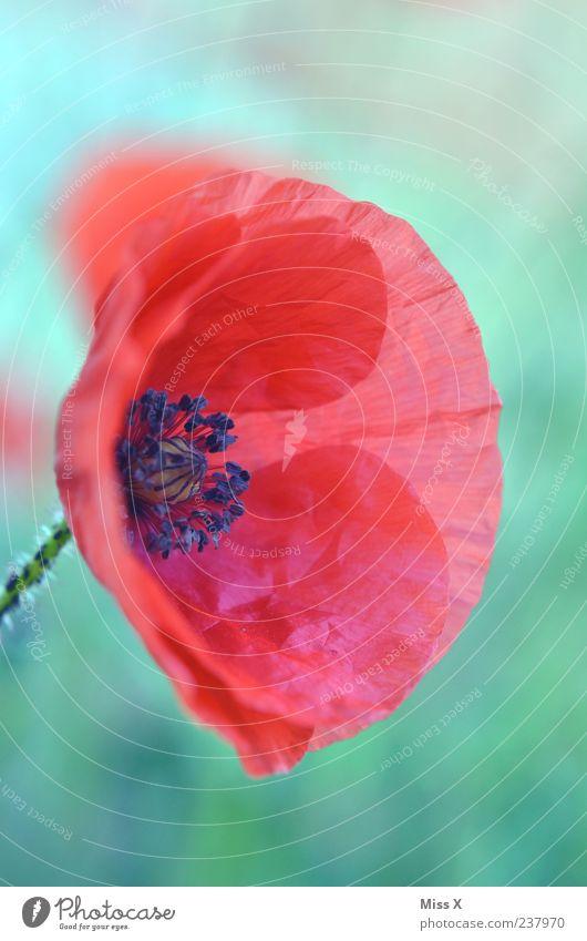 poppy Plant Spring Summer Flower Blossom Wild plant Blossoming Red Delicate Poppy Poppy blossom Poppy capsule Blossom leave Wrinkles Colour photo Multicoloured