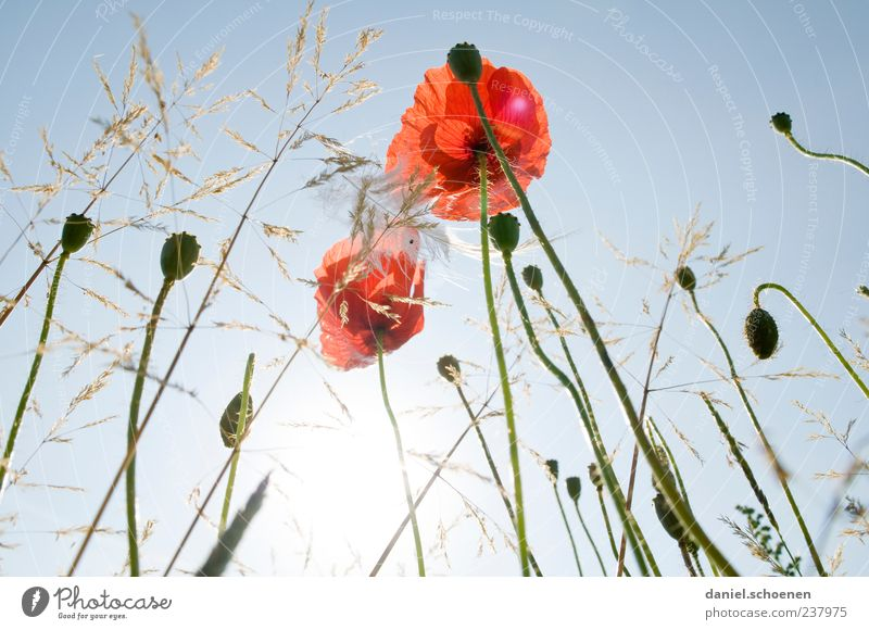 I was lying in the meadow again. Nature Plant Sky Cloudless sky Sun Summer Beautiful weather Flower Grass Leaf Blossom Wild plant Meadow Blue Red Poppy