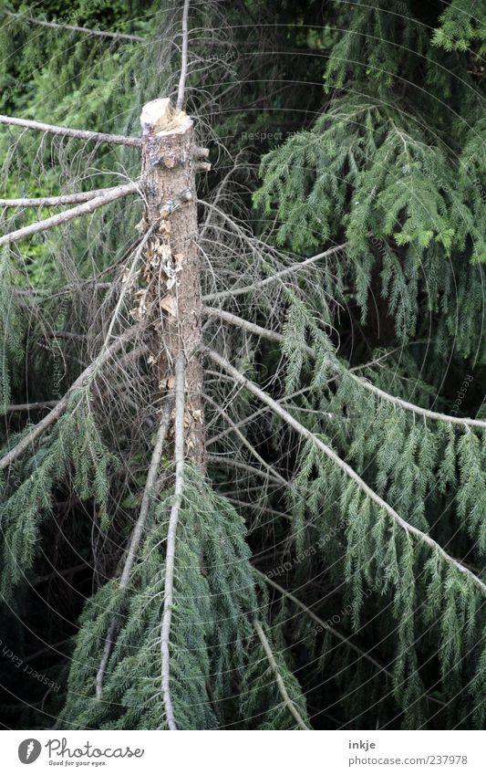 Green Tree Summer Forest Environment Dark Wood Natural Stand Broken Transience Branch Agriculture Storm Fir tree Decline