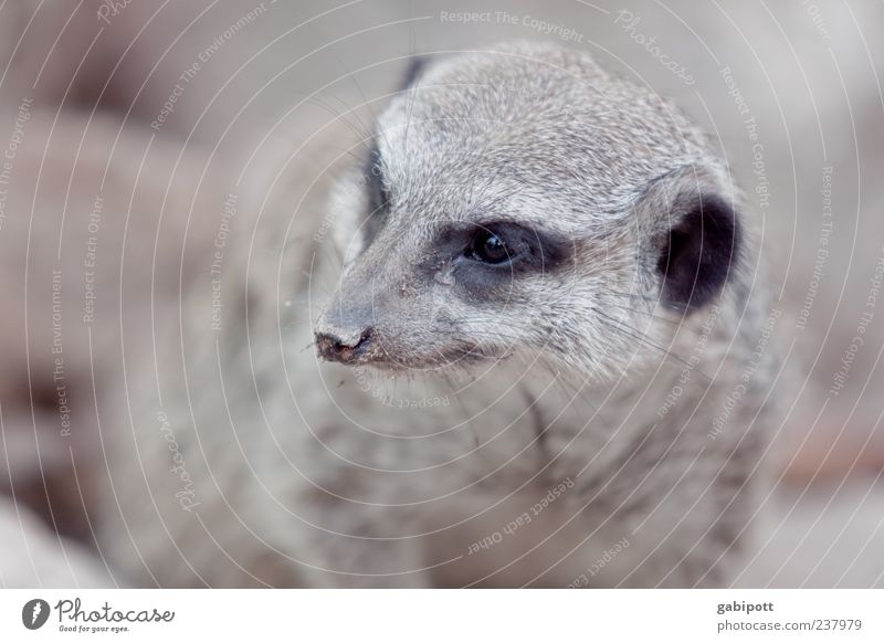 A day at the zoo [no3] Animal Animal face Pelt Zoo Meerkat 1 Observe Cuddly Small Astute Natural Curiosity Cute Smart Brown Love of animals Testing & Control