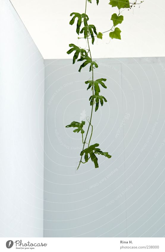 intruder Plant Summer Leaf Foliage plant Wall (barrier) Wall (building) Facade Hang Growth Bright Green White Uniqueness Creeper Tendril Exotic Intrude