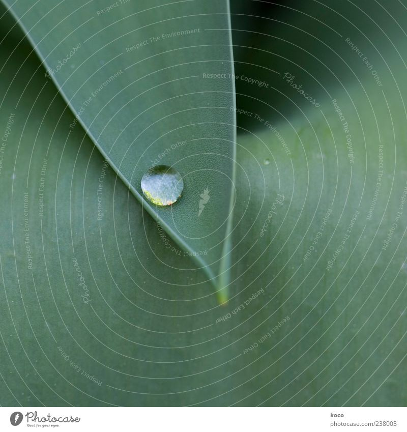 ... who wants to find pearls ... Elegant Beautiful Plant Drops of water Leaf Water Exceptional Fluid Glittering Wet Round Point Green Black White Esthetic