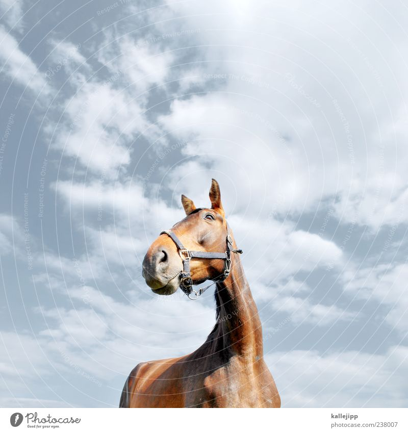 horse's perspective Lifestyle Elegant Style Nature Sky Clouds Beautiful weather Animal Farm animal Horse 1 Looking Bridle Ear Watchfulness Pride Power Neck Pelt