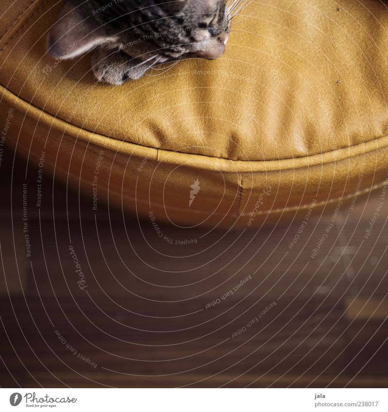 little cat Animal Pet Cat Animal face Lie Sleep Stool Leather Colour photo Interior shot Deserted Copy Space bottom Day Animal portrait Calm Fatigue Relaxation