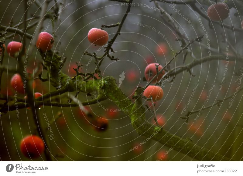winter apples Apple Environment Nature Plant Tree Garden Hang To dry up Growth Dark Natural Moody Fruit Forget Colour photo Subdued colour Exterior shot Blur