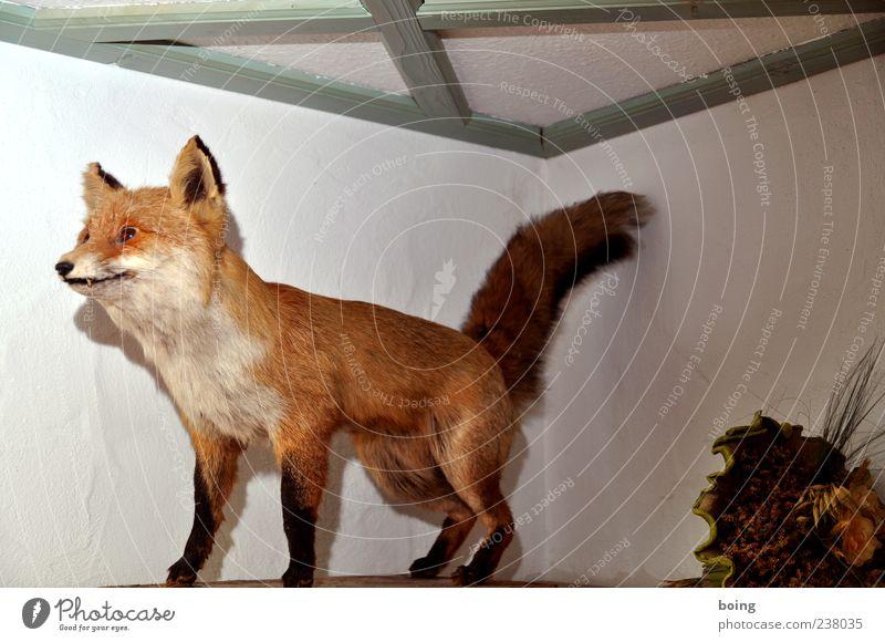 FDPC Fox 1 Animal Decoration Stuffed animal Interior shot Motionless Full-length Deserted