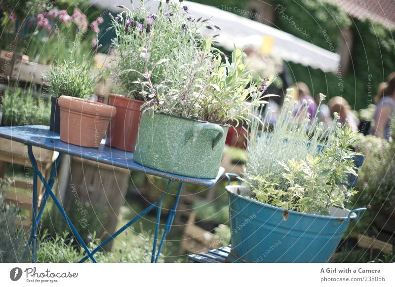 a day at the flower fair Garden Decoration Plant Spring Agricultural crop Wild plant Lavender Herbs and spices Pot Bucket Containers and vessels Flowerpot Table