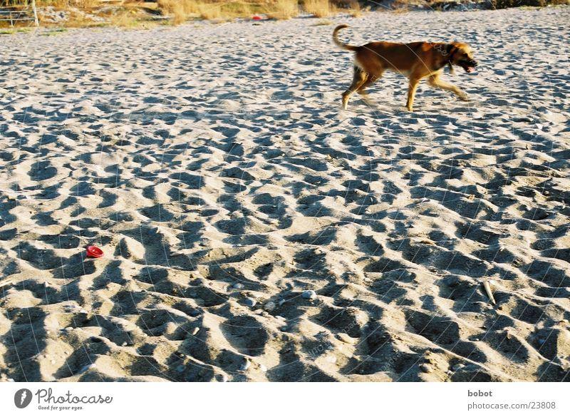 Ocean Beach Playing Dog Sand Pelt Footprint Pet Tame