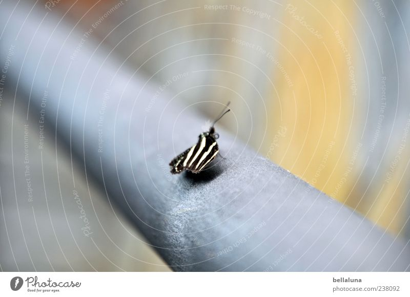Flying Zebra Nature Animal Wild animal Butterfly Wing 1 Sit Esthetic Exceptional Exotic Fantastic Uniqueness Natural Beautiful Blue Gray Black White Tenerife