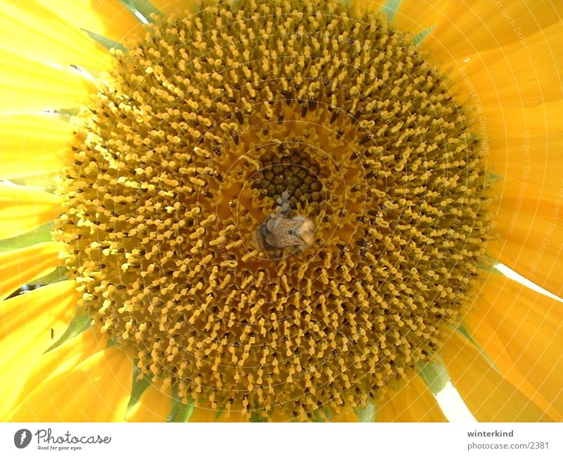 sunflower Yellow Flower Sunflower Bumble bee Blossom Summer