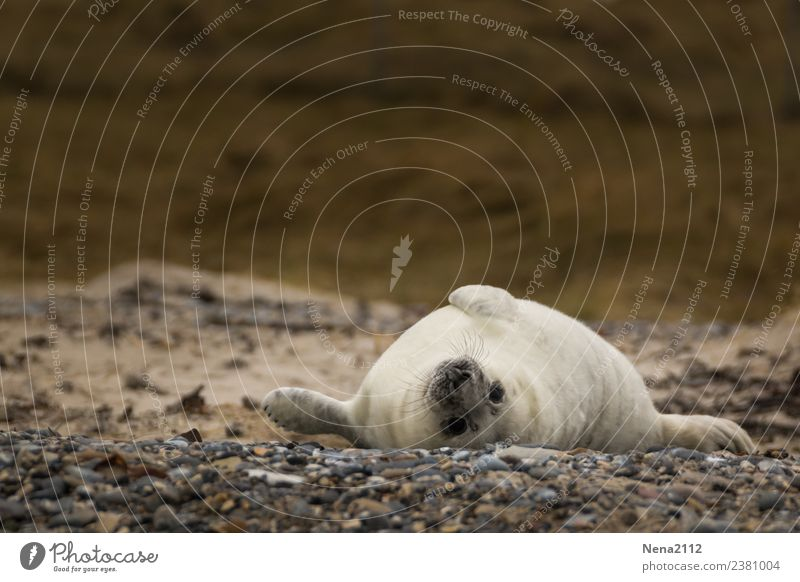 lazy Sunday... Environment Nature Animal Sand Coast Beach North Sea Baltic Sea Island 1 Baby animal To enjoy Seals Lie Helgoland Wild animal Gray seal Seal cub