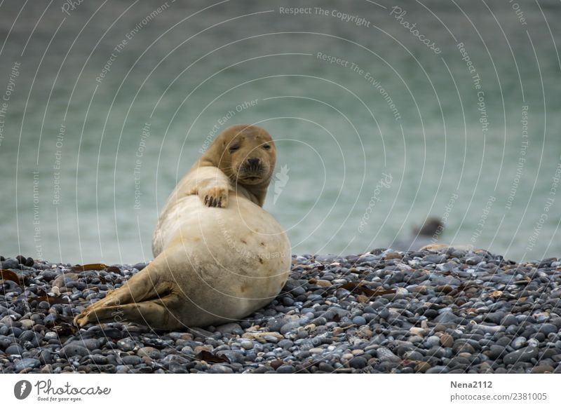 Seasons finally belly free! Environment Nature Animal Coast Beach Bay North Sea Baltic Sea 1 Baby animal Relaxation Lie Wait Helgoland Seals Wild Seal cub