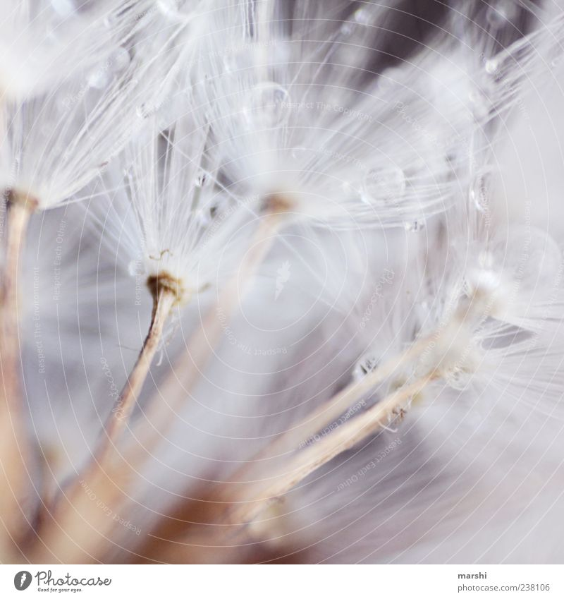 federweisser Nature Plant Soft Dandelion Drops of water Seed Colour photo Close-up Detail Macro (Extreme close-up) Copy Space Delicate Graceful Natural color