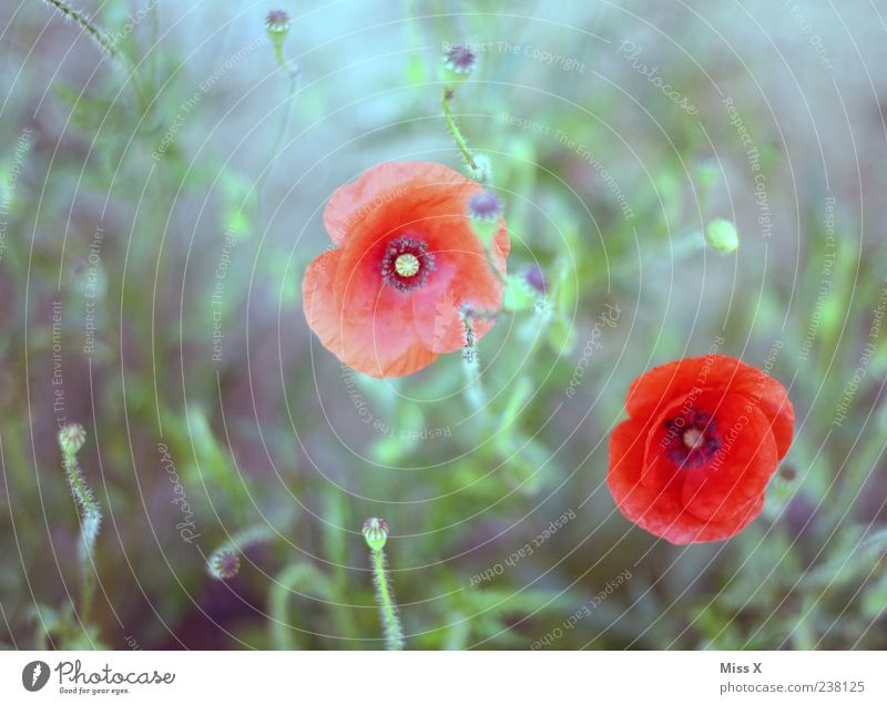 Painted Plant Summer Leaf Blossom Wild plant Blossoming Growth Red Poppy Poppy blossom Poppy capsule Colour photo Exterior shot Deserted Shallow depth of field