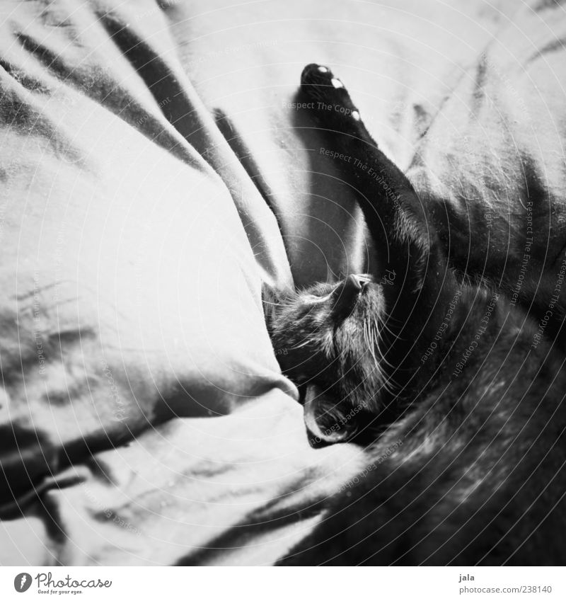 epicure Animal Pet Cat Animal face Paw 1 To enjoy Lie Sleep Esthetic Beautiful Trust Safety (feeling of) Black & white photo Interior shot Deserted