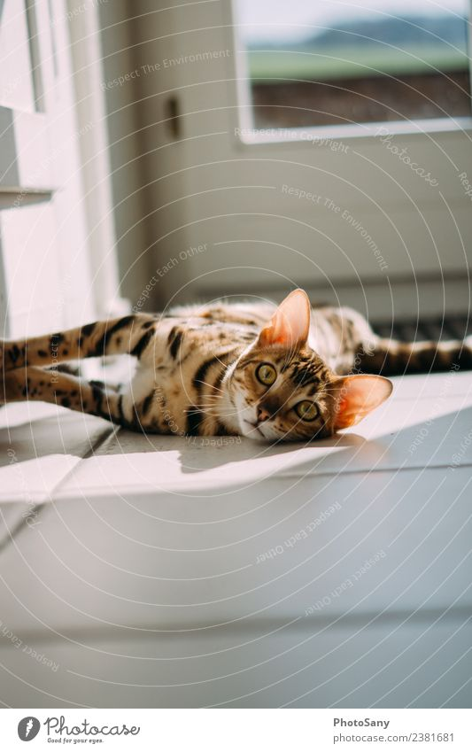 Got my eye on you Cat bengal cat Bengal Sunlight at home