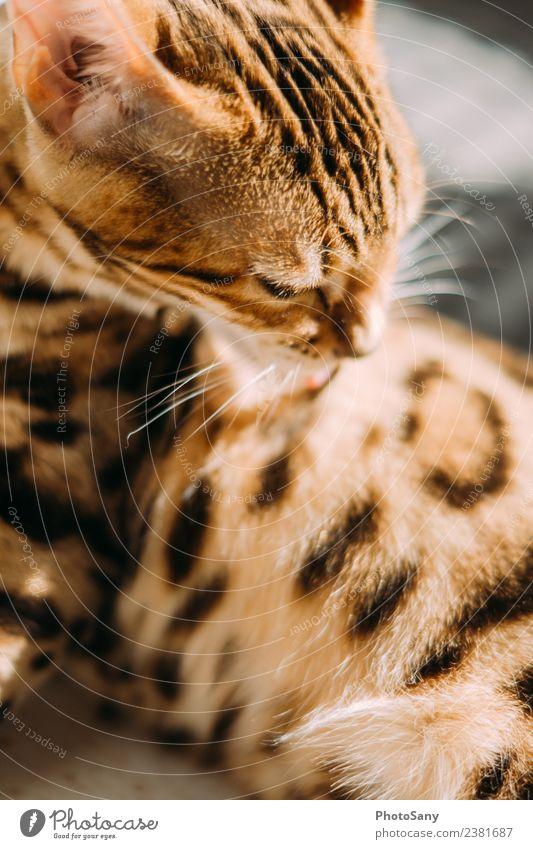 The Bengal Animal Pet Cat Domestic cat 1 Bright Clean Brown Black Elegant Personal hygiene Pattern Pelt Coat care Coat color Colour photo Interior shot Deserted