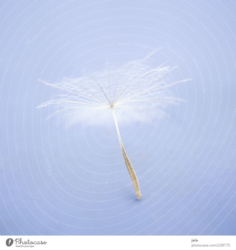 pappus Plant Blossom Seed Dandelion Soft White Light blue Easy Fine Delicate Colour photo Exterior shot Deserted Copy Space right Copy Space top