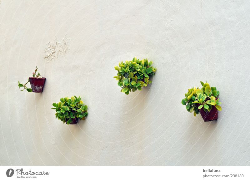 3... 2... 1... none! Nature Spring Summer Beautiful weather Plant Leaf Foliage plant Pot plant Exotic Brown Green White Tenerife Hang Wall (building) Flowerpot