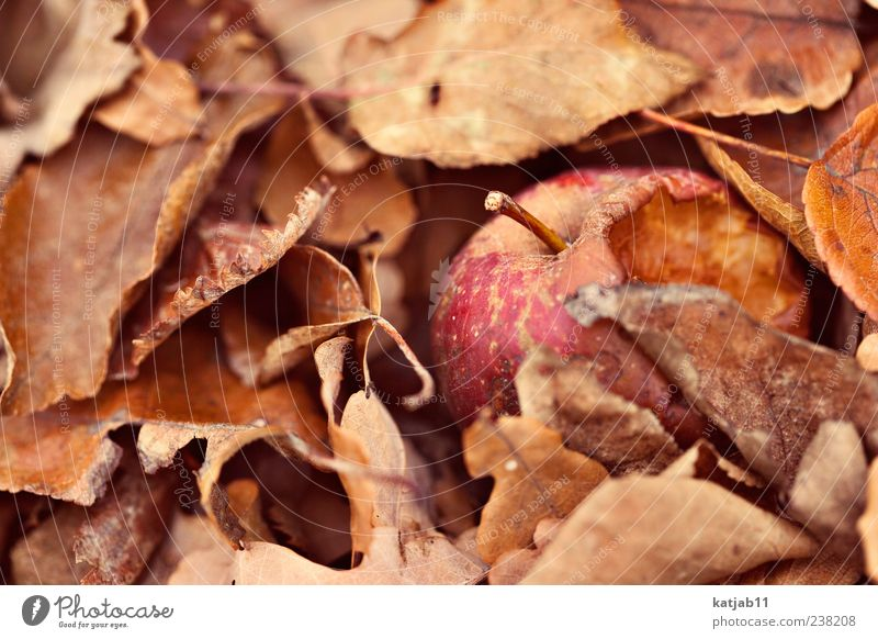 apple Food Fruit Apple Nature Leaf Old Juicy Red Spoiled Transience Colour photo Exterior shot Macro (Extreme close-up) Day Autumn Autumnal Deserted Bum around